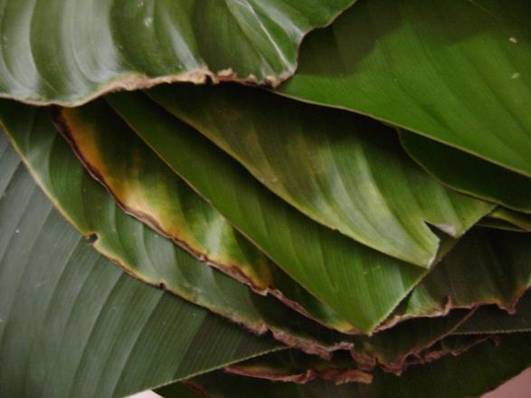 soharee leaves